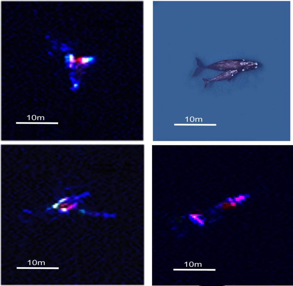Scientists have demonstrated how new satellite technology can be used to count whales, and ultimately estimate their population size. Using Very High Resolution (VHR) satellite imagery, alongside image processing software, they were able to automatically detect and count whales breeding in part of the Golfo Nuevo, Peninsula Valdes in Argentina. The new method, published this week in the journal PLoS ONE, could revolutionise how whale population size is estimated. Marine mammals are extremely difficult to count on a large scale and traditional methods, such as counting from platforms or land, can be costly and inefficient. Issued by the British Antarctic Survey Press Office. Contact: Rachel Law, Tel: +44 (0)1223 221437; email: raclaw@bas.ac.uk Satellite images and photos of whales are available from the BAS Press Office. NO FEE