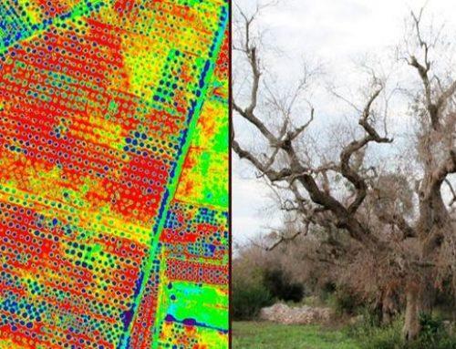 Drones para detectar la Xylella fastidiosa que ataca a los olivos